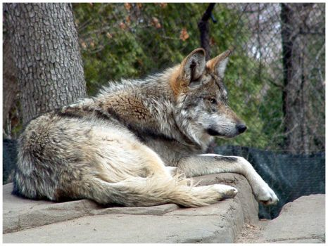 Mexican Wolf 1 by ph0t0k1tty