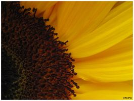 SunFlower by DropOfTime