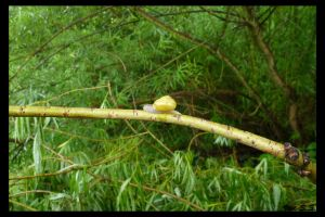 Snail on a twig by knirket