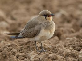 Cute and fluffy - Collard Pratincole by Jamie-MacArthur