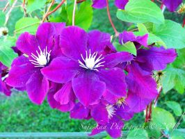 Clematis by Snjeskaa