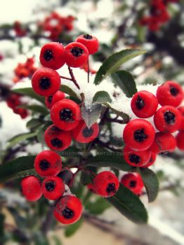 Winter berries 3. by Shaquiry