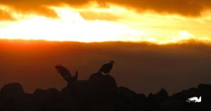 Pair Of Eagles Landing On Rocks by wolfwings1