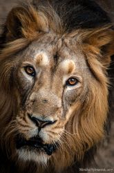 Lion Face III by amrodel