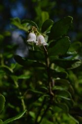 Lingonberry flower by Orkekum