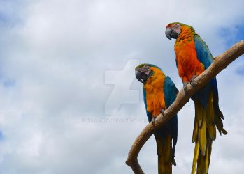 Blue and Yellow Macaws by rlgarrard