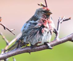 Arctic Redpoll 14 by nordfold