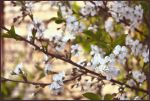 Blossoming by Flowertree-elf