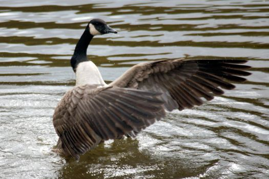 Canada Goose 7467 by GhostInThePines