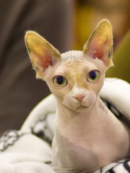 Sphynx stare by TomiTapio