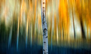 Birch by RobinHedberg