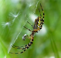 Banana Spider by DaisyDinkle