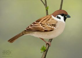 Passer montanus by jrtracey