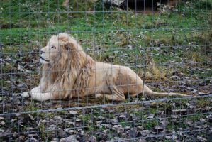 White king of animals by NicamShilova