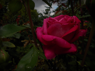 Rose after rain by Astusapes