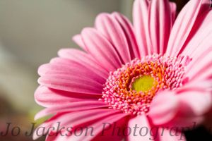 Pale Pink Gerbera 2 by Britwitch-1981