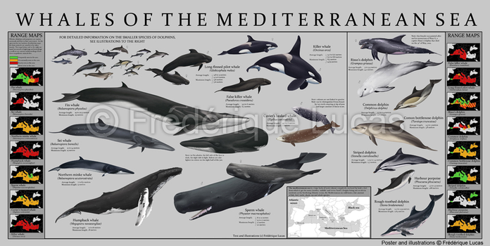 Whales of the Mediterranean sea - POSTER by namu-the-orca