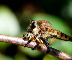Yellowjacket for lunch.. by duggiehoo
