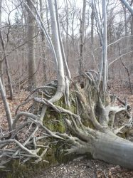 Root Tree 2 by SylvanSmith