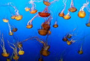 Jelly Fish by Goldey