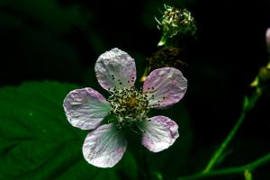 Black berry flower by Mackingster