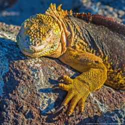 Galapagos Land Iguana by lux69aeterna