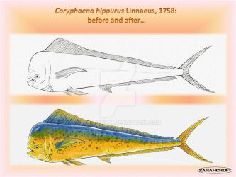 Coryphaena hippurus before and after_2012 by SARAHCROFT