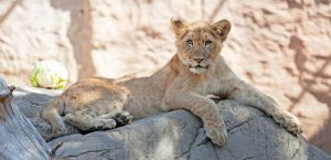 Lion Cub (and cabbage) by robbobert