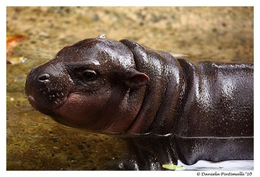 Baby Hippo Portrait by TVD-Photography