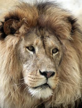 Staring Lion 16825007 by StockProject1