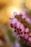 heather light by BlueColoursOfNature