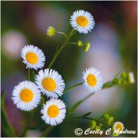 Wild Daisy by CecilyAndreuArtwork