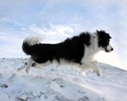 Sheepdog in the Snow by micromeg