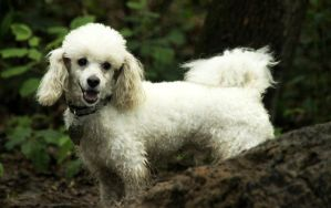 Rico - poodle mix by shetanka