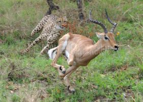 Kruger Park: The Chase by PrometheanPenguin