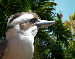 Day Dreaming Kookaburra by vanndra