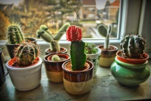 Cactus babies HDR by Snoeffel