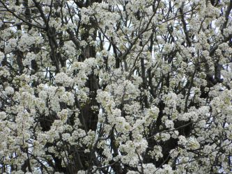 Bradford Pear Blossoms of Spring by LinearRanger