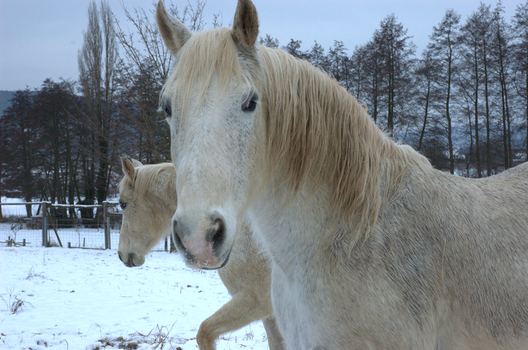 Horses in Winter by Ariyenne
