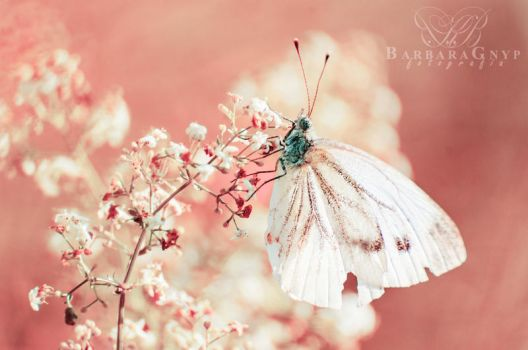 Pieris napi by xBarbaraG