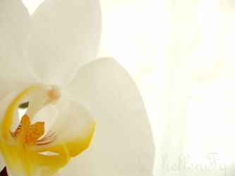 white orchid by hellenFq