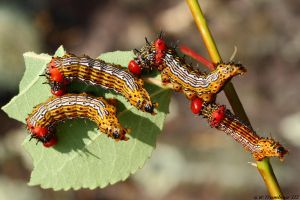 Cluster of Red Humped Caterpillars by natureguy