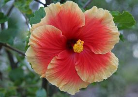 Hibiscus Junes Joy. by Firey-Sunset