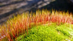 Hairy Moss by AdMalamCrucem