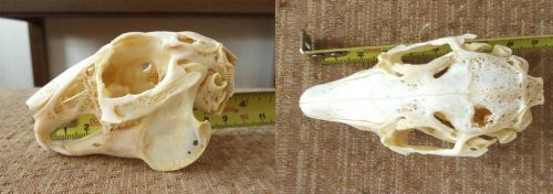 Rabbit Skull FOR SALE by Tricksters-Taxidermy