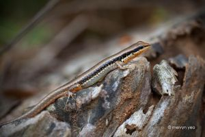 Skink by melvynyeo