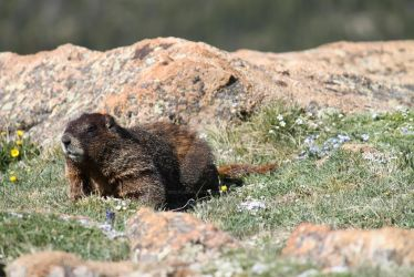 What Are You Doing, Yellow Bellied Marmot #2 by wolfleopard72