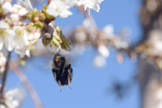 2018 Spring First Sighting,Bee and Blossoms Hover4 by Miss-Tbones
