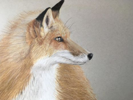 Fox profile - coloured pencil  by miemotio
