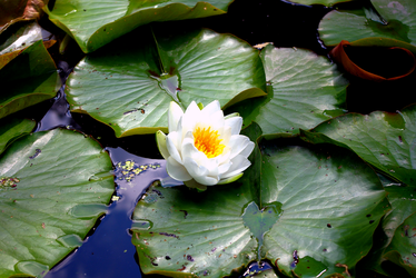 White waterlily by zaneta333